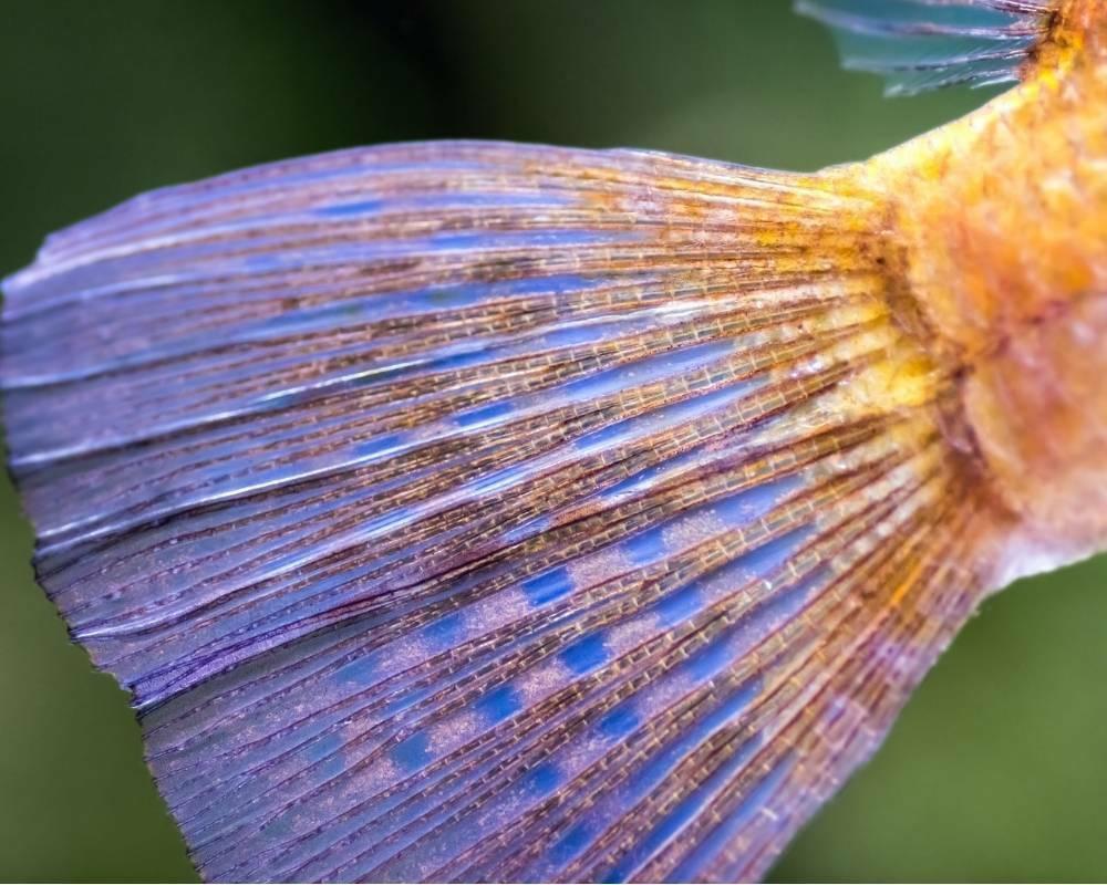 nageoire caudale du poisson